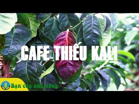 Dấu Hiệu Nhận Biết Cây Cafe Thiếu Kali / Bạn Của Nhà Nông