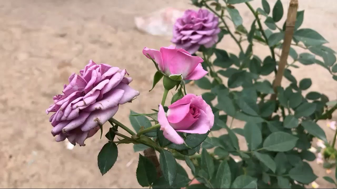 Dịu mắt với những bông hồng tím tuyệt đẹp mùa hè này
