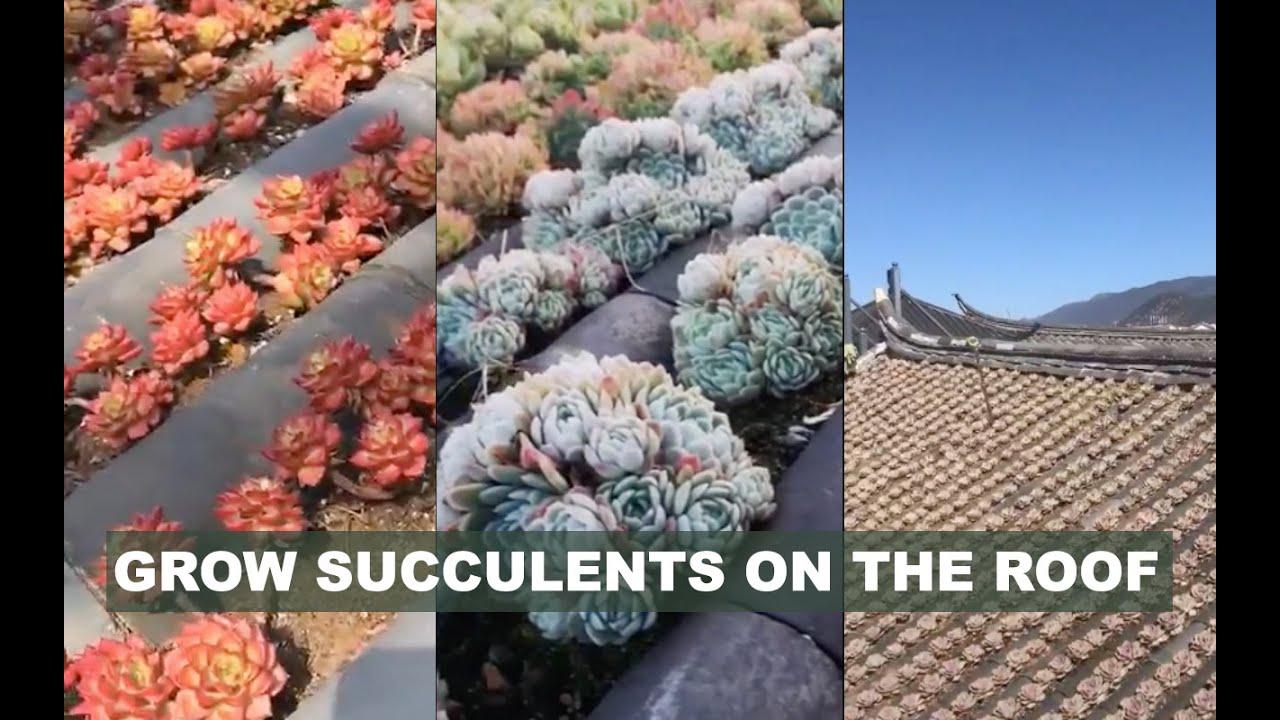 Ghiền sen đá tới nóc là có thật | Grow succulents on the roof | 多肉植物| 다육이들