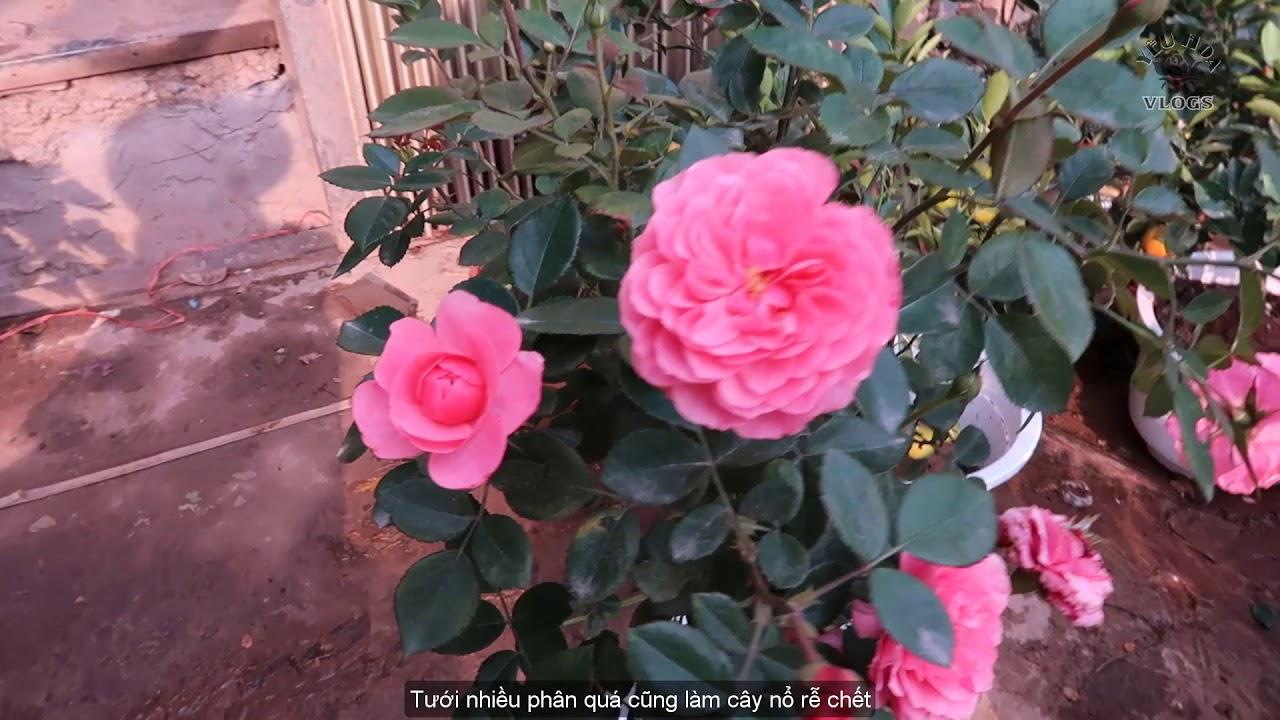 Giới thiệu Hoa hồng ngoại tai cửa hàng tại Hà Nội   Hoa hồng đón Tết 2019