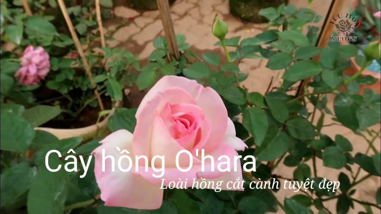 Giới thiệu cây hoa hồng O'Hara rose - Hồng cắt cành tuyệt đẹp