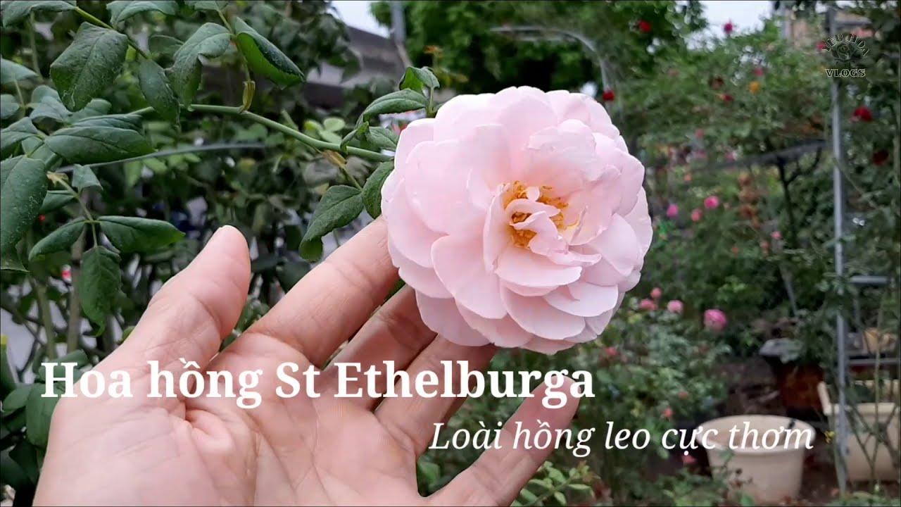 Giới thiệu cây hồng leo Ethelburga, loài hoa hồng leo ngoại độc đáo
