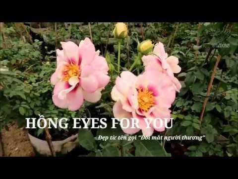"""Giới thiệu loài Hồng Eyes for you Rose   Không hổ danh """"Đôi mắt người thương"""""""