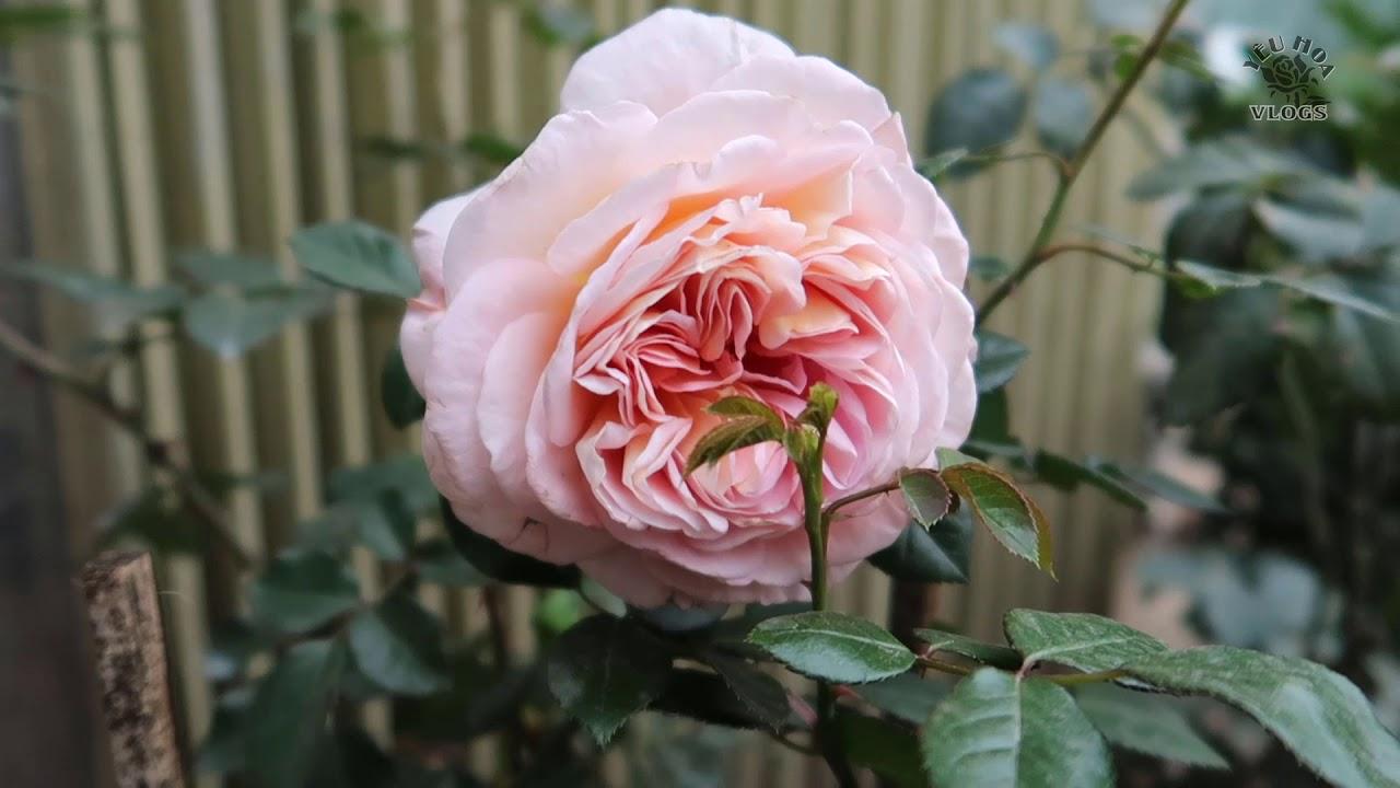 Giới thiệu một số cây hồng ngoại đẹp tại shop Cây và Hoa - Hà Nội   Hoa hồng Vlogs, Phần 2