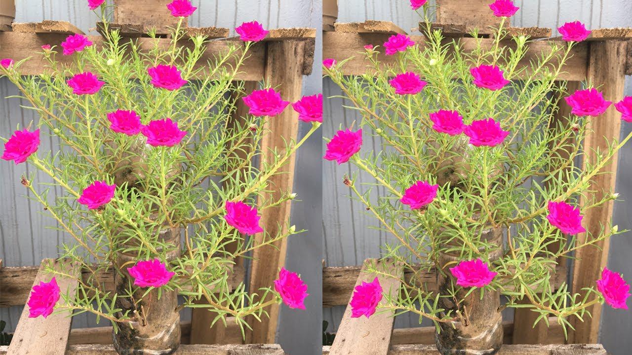 Grow Portulaca (Moss rose) in plastic bottles - Trồng hoa 10 giờ trong chai nhựa