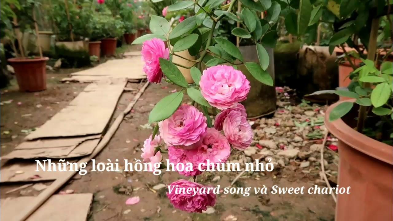 Hai loài hồng hoa chùm sai nổi tiếng - Vineyard song rose