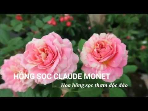 Hoa Hồng Claude Monet - Vẻ đẹp đến từ nước Mỹ
