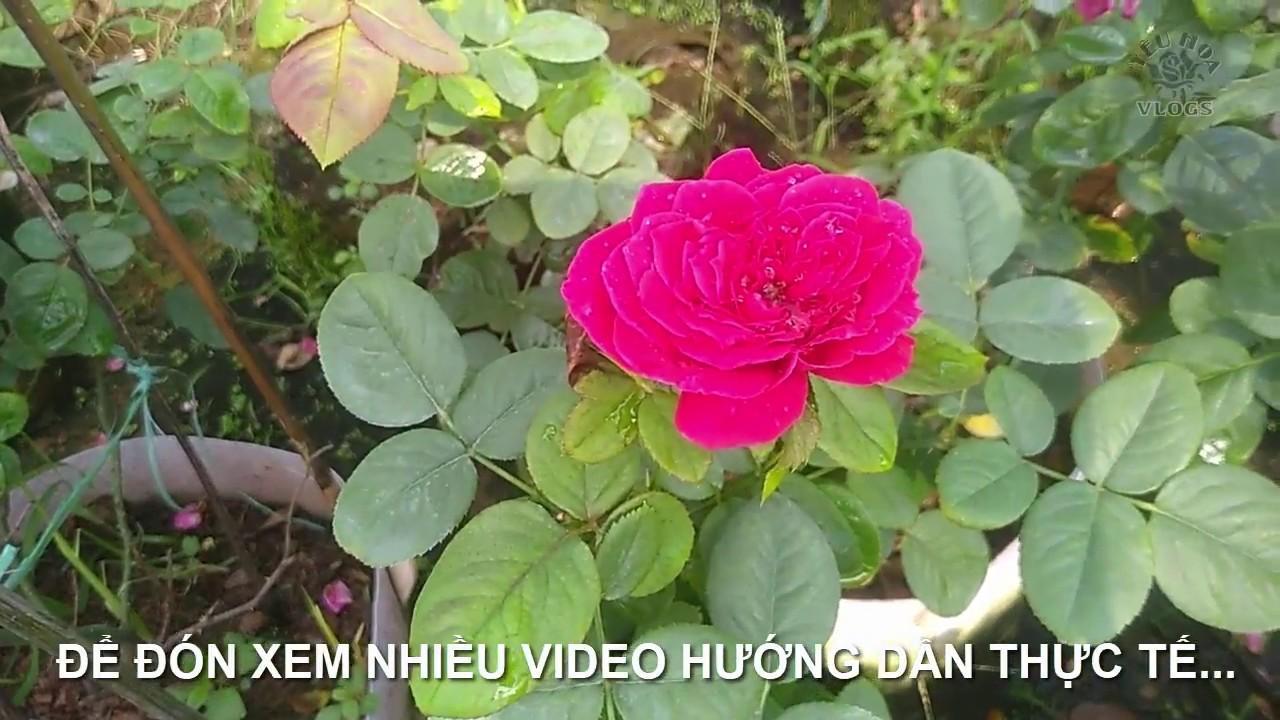 Hoa Hồng ngoại (phần tiếp theo)