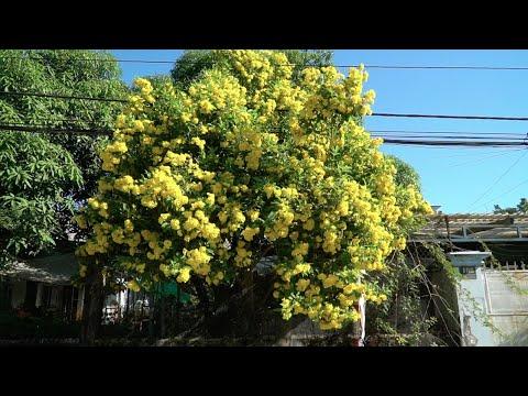 Hoa chuông vàng và hoa lan tỏi nở rực rỡ tại cổng Vườn sen đá | www.vuonsenda.vn