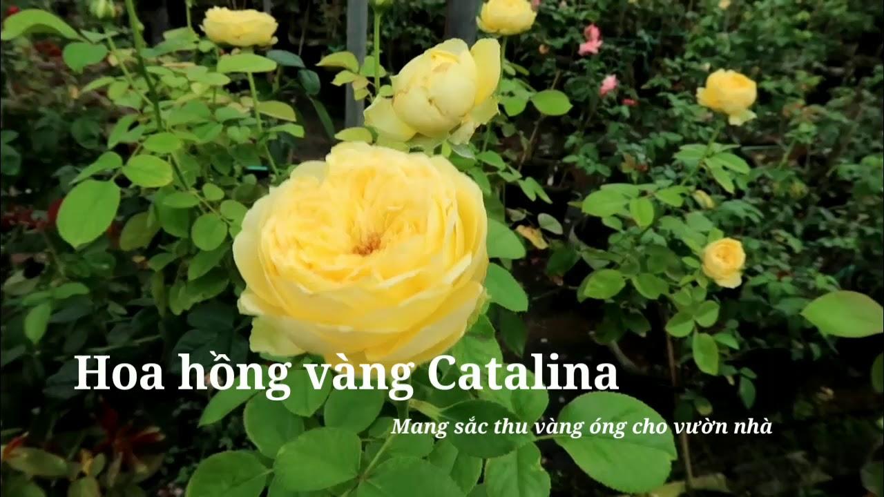 Hoa hồng Catalina màu vàng chanh tuyệt đẹp