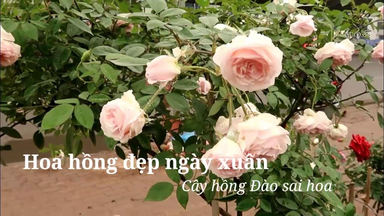 Hoa hồng Đào thân gỗ nghênh xuân tại vườn Cầu Dậu, Hà Nội
