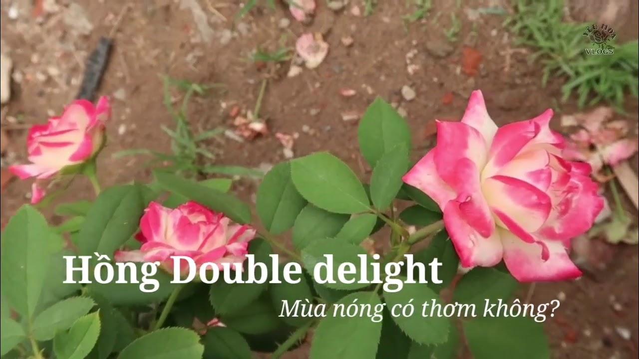 Hoa hồng Double delight mùa nóng có thơm không?
