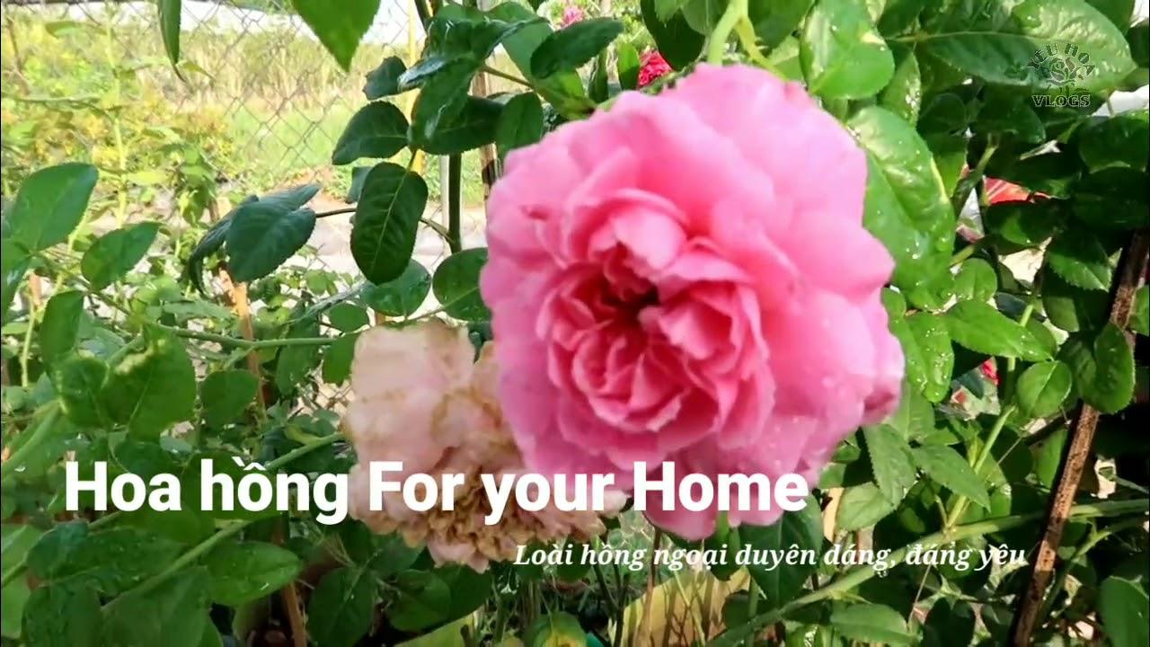 Hoa hồng Nhật Bản độc đáo: Hồng For your Home rose