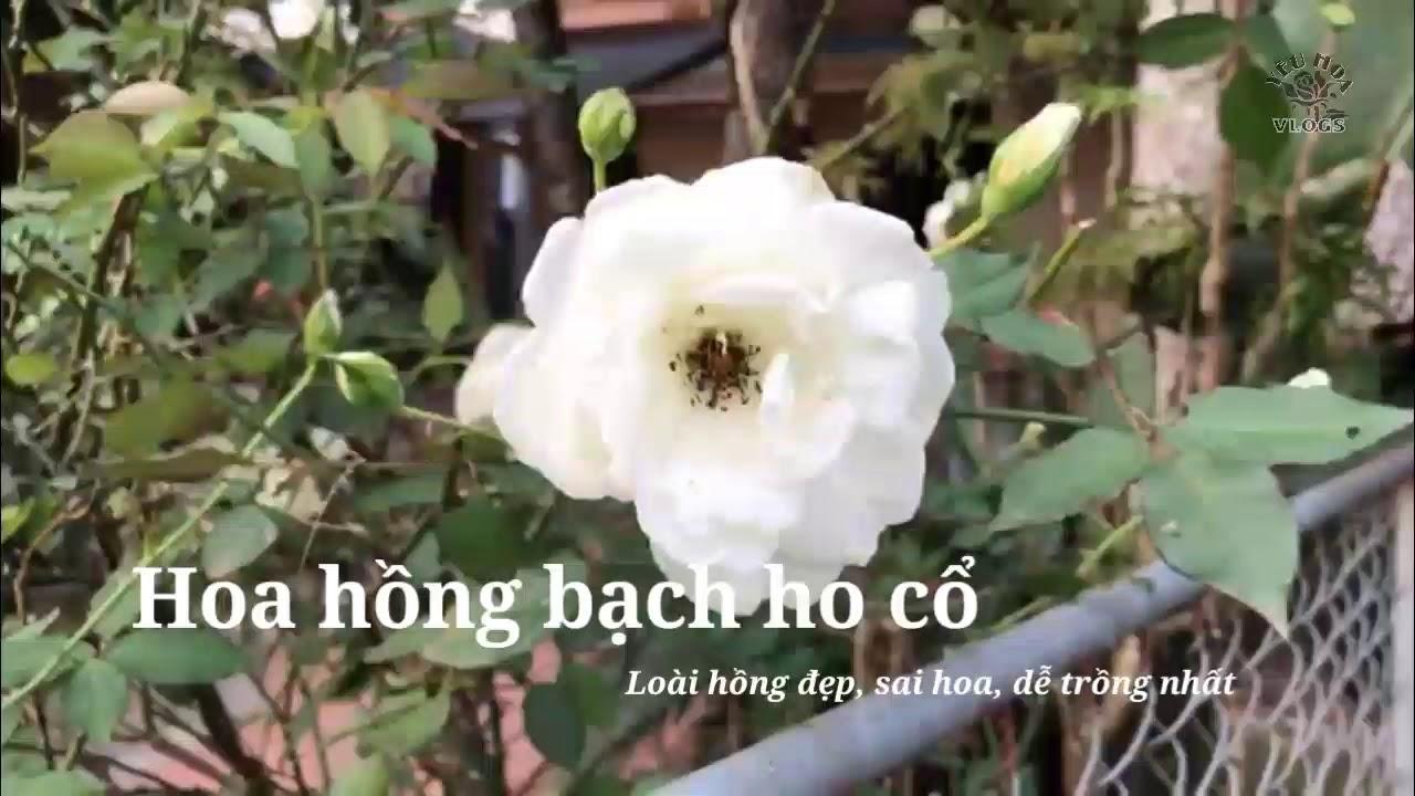 Hoa hồng bạch ho - loài hồng đẹp mà dễ trồng cho người mới chơi