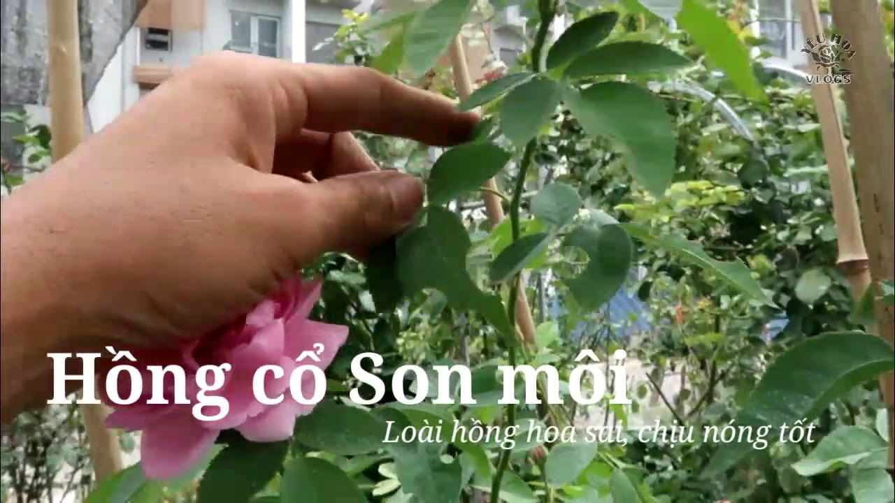 Hoa hồng cổ son môi cây khỏe, dễ trồng trong mùa nóng