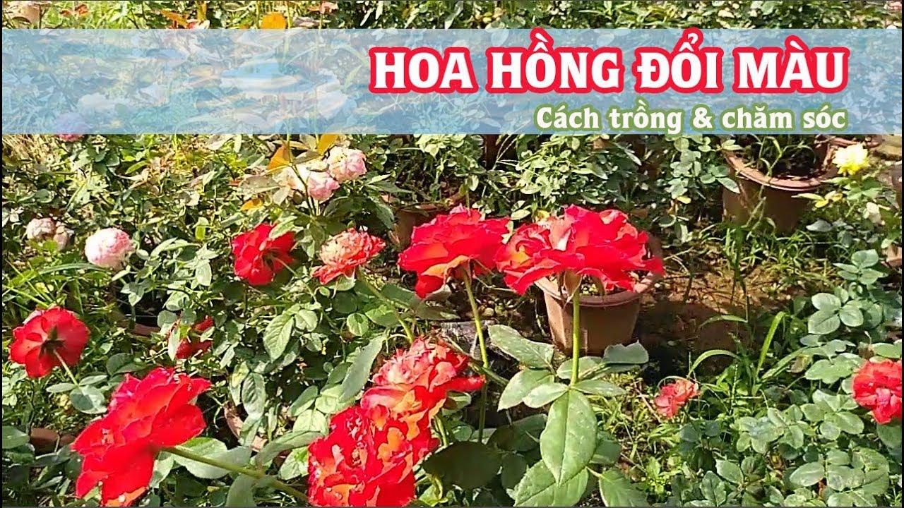 Hoa hồng đổi màu - Cách trồng và chăm sóc hồng đổi màu - Hoa hồng Vlogs