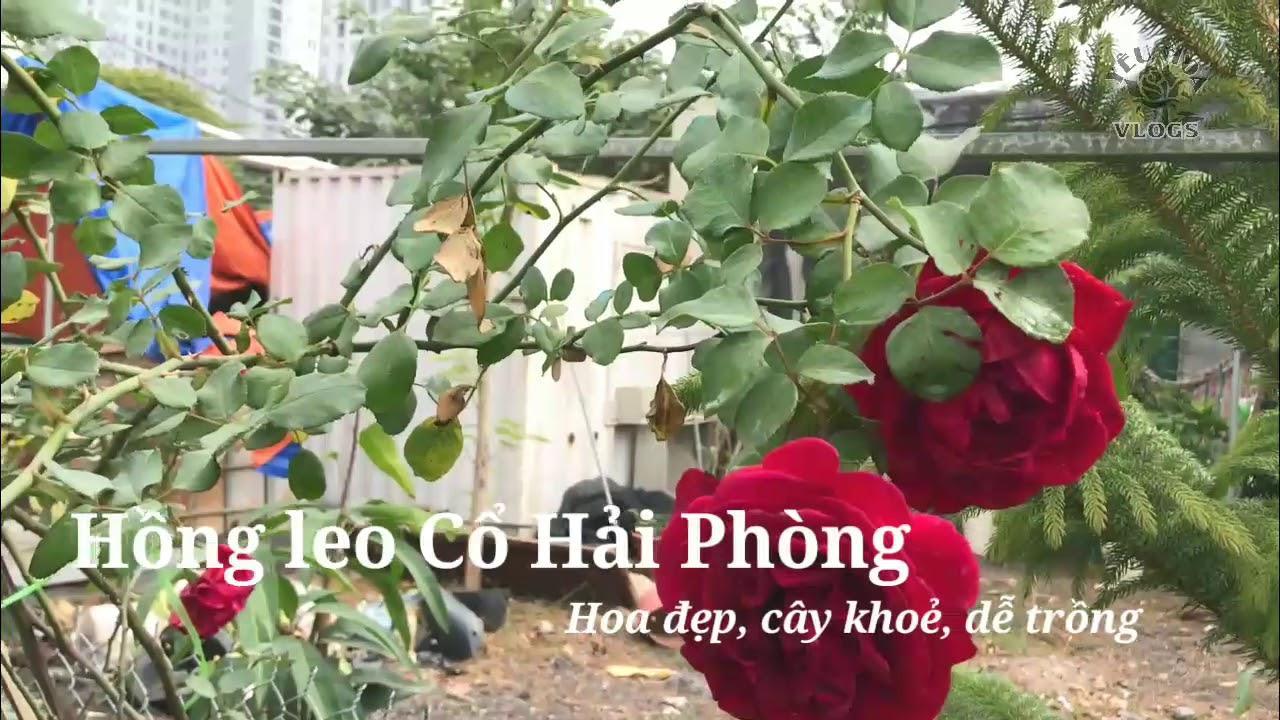 Hoa hồng leo nào đẹp mà dễ trồng nhất? Hồng Cổ Hải Phòng và hồng đột biến