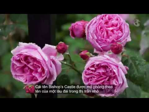 Hoa hồng leo tuyệt đẹp - HOA HỒNG Vlogs - Cách chăm sóc hồng leo ra nhiều hoa