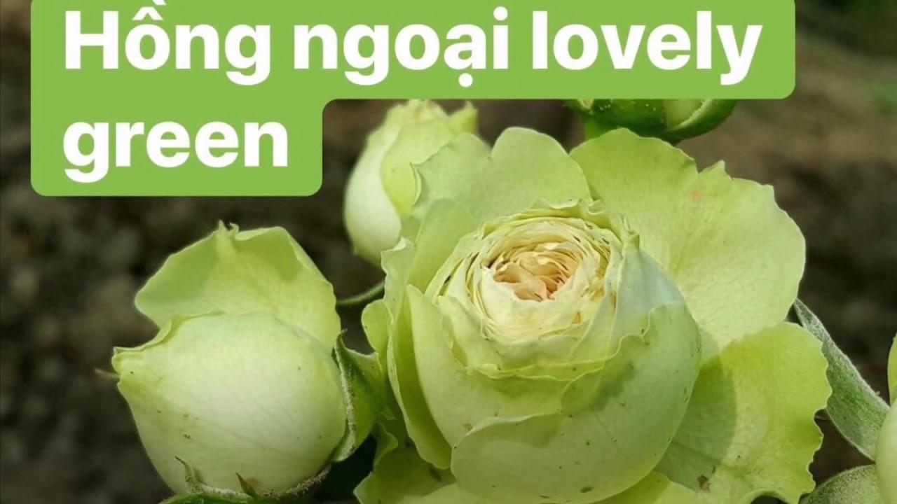 Hoa hồng lovely green