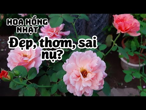 Hoa hồng ngoại Kaori của Nhật thực sự có đẹp không?