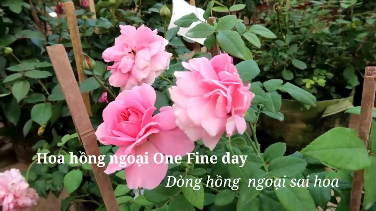 Hoa hồng ngoại One fine day - Sưu tập hồng ngoại đẹp