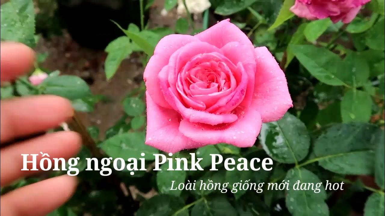 Hoa hồng ngoại Pink Peace - Loài hồng giữ form tốt mùa nắng