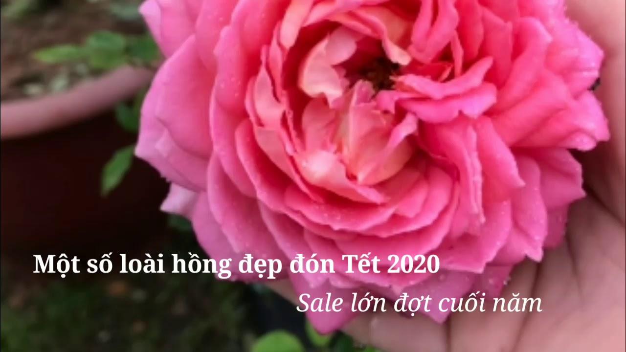 Hoa hồng ngoại chào đón xuân 2020 tại vườn Cầu Dậu