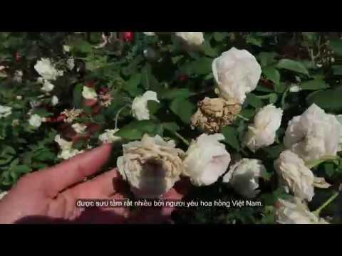 Hoa hồng ngoại đặc sắc | Ngọc Lung Linh – Hồng cổ Trung Quốc đẹp nhất