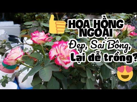 Hoa hồng ngoại đẹp tại vườn Yêu Hoa Hồng, Hà Nội
