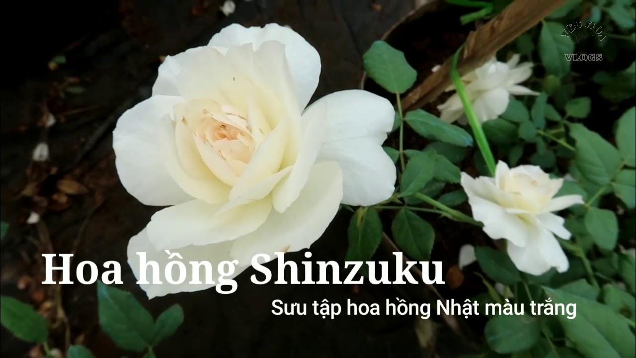 Hoa hồng trắng Shizuku rose - Những loài hoa hồng trắng tuyệt đẹp