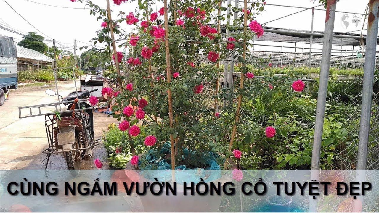 Hoa hồng vlog - Cùng thăm vườn hồng cổ tuyệt đẹp - Hoa hồng leo lung linh