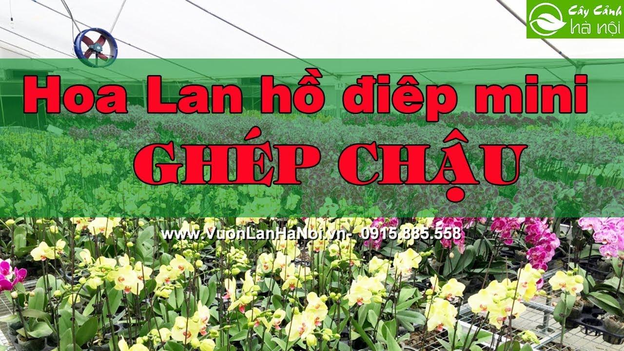 Hoa lan Hồ điệp mini ghép chậu