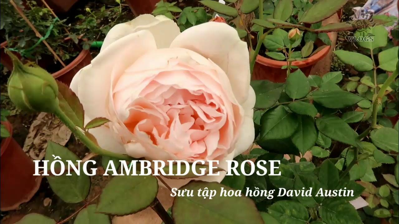 Hồng Ambridge - Giống hồng David Austin rose tuyệt đẹp