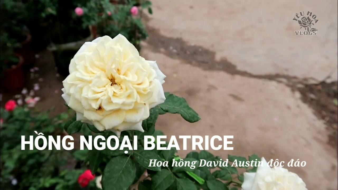 Hồng Beatrice | Giống hồng David Austin màu vàng cực thơm