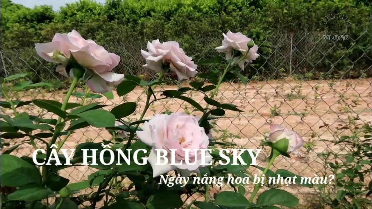 Hồng Blue Sky mùa nóng có bị nhạt màu không?