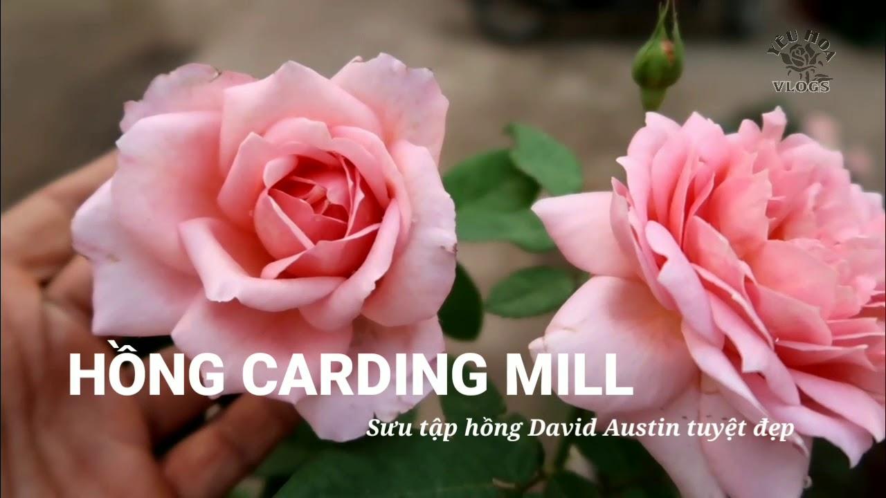 Hồng Carding Mill | Sưu tập hồng David Austin độc đáo