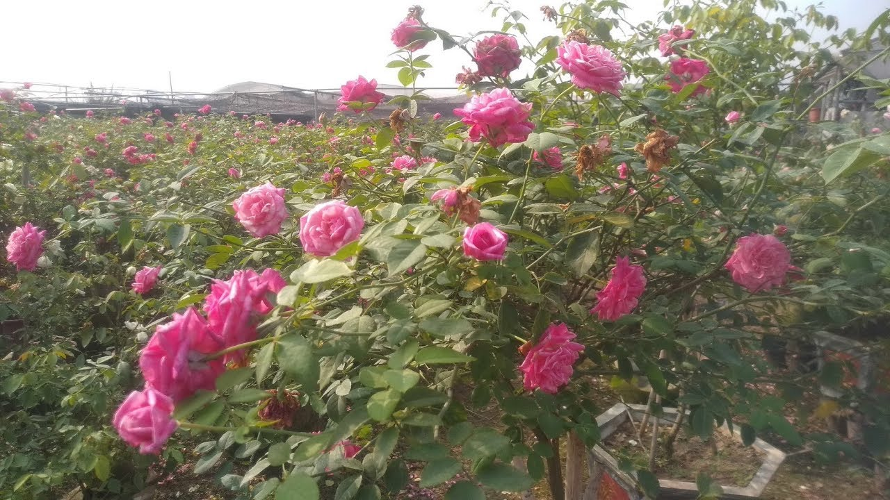 Hồng Cổ Sapa cực đẹp - Cùng ngắm gốc hồng cổ Sapa 100 bông hoa