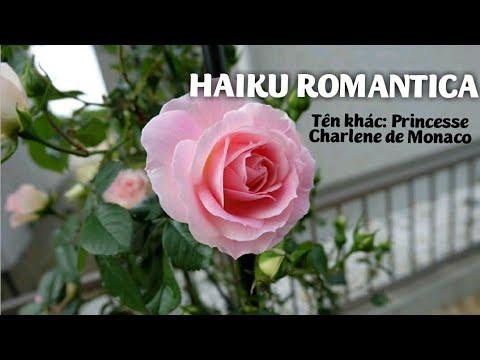 Hồng Haiku Romantica mang vẻ đẹp và hương thơm tinh tế đến từ nước Pháp