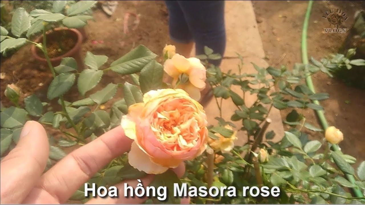 Hồng Masora   Giống hoa hồng Nhật Bản được người yêu hoa săn đón nhất