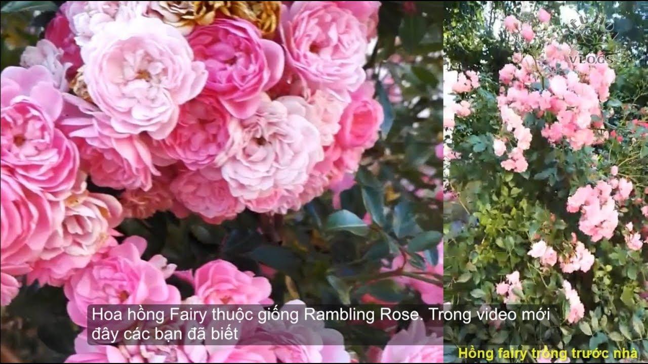 Hồng bụi The fairy trước sân nhà   Ngắm vườn hồng ngoại tuyệt đẹp và sai hoa