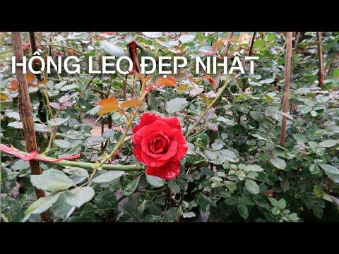 Hồng cổ Hải Phòng, hồng leo Mon   Những loài hồng leo phổ biến và dễ chăm sóc