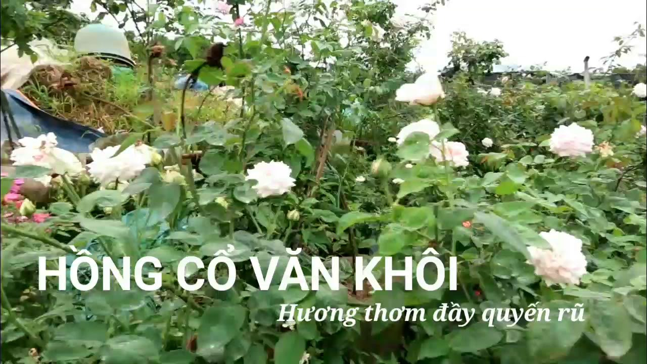 Hồng cổ Văn khôi thơm ngát một góc vườn   Hoa hồng cổ Việt nam đẹp nhất