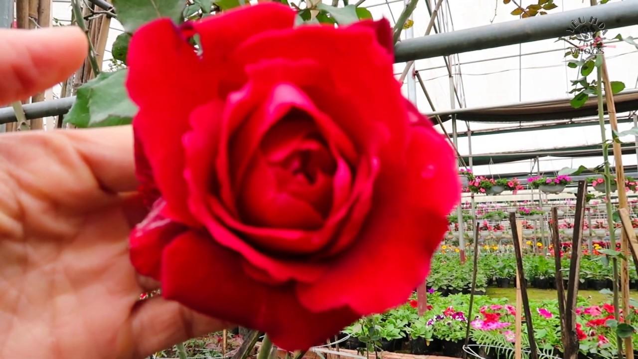 Hồng leo Cổ Hải phòng   Thăm vườn hồng nhung Hải Phòng ngày cuối năm