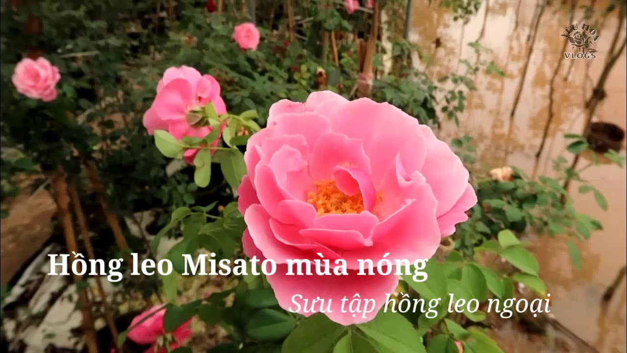 Hồng leo Pháp Misato rose mùa nóng ra sao?