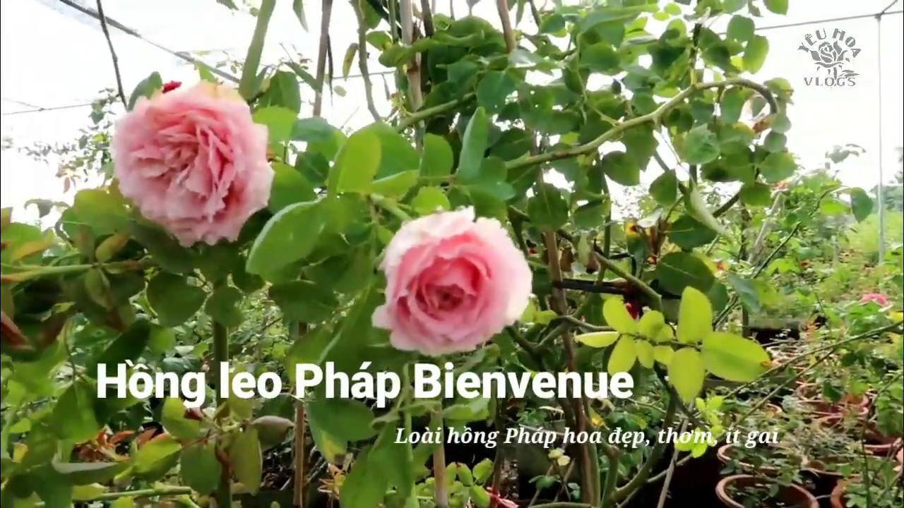 Hồng leo Pháp hoa đẹp, thơm lại ít gai - Tuyệt tác hoa Hồng Bienvenua
