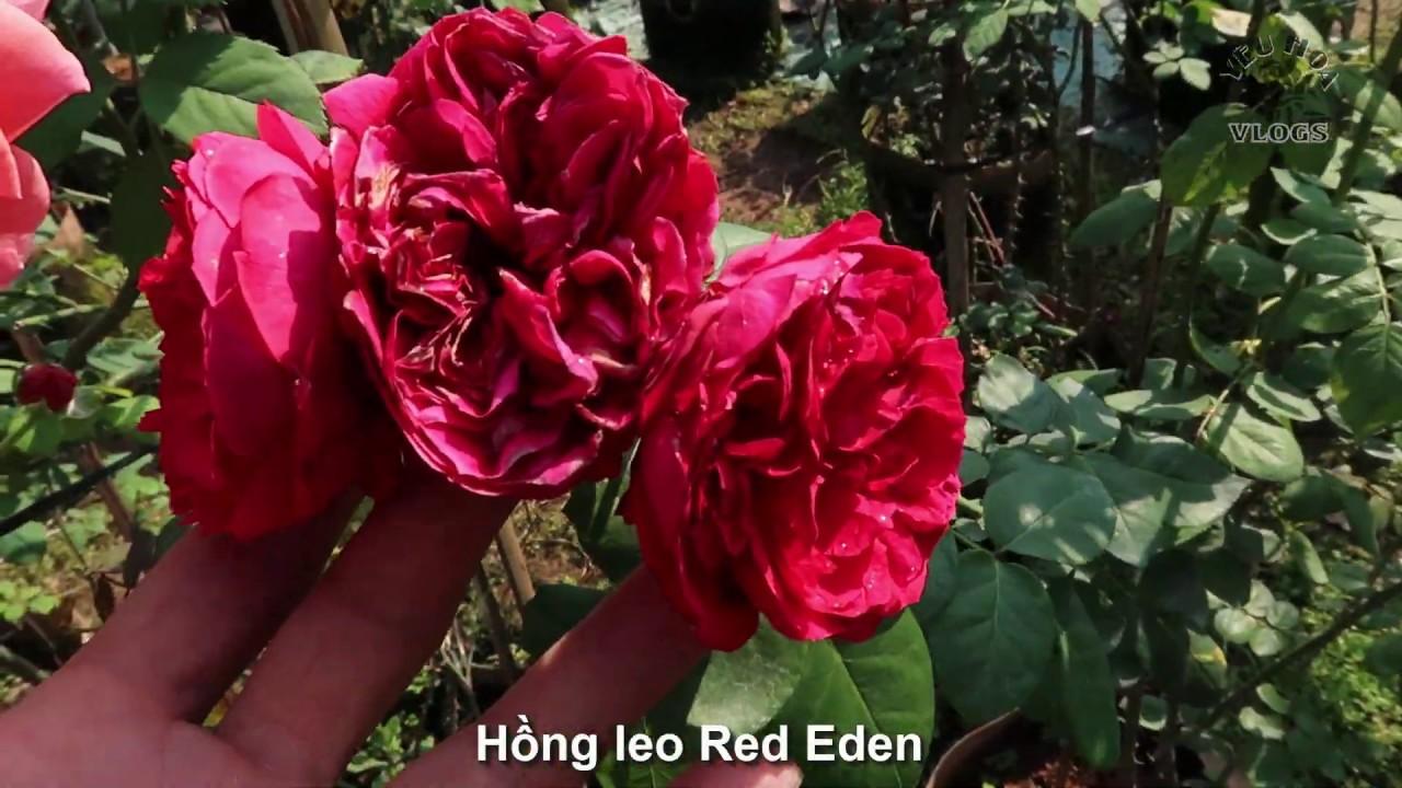Hồng leo Red eden rose cực đẹp   Giới  thiệu cây hoa hồng leo Red Eden Rose tree