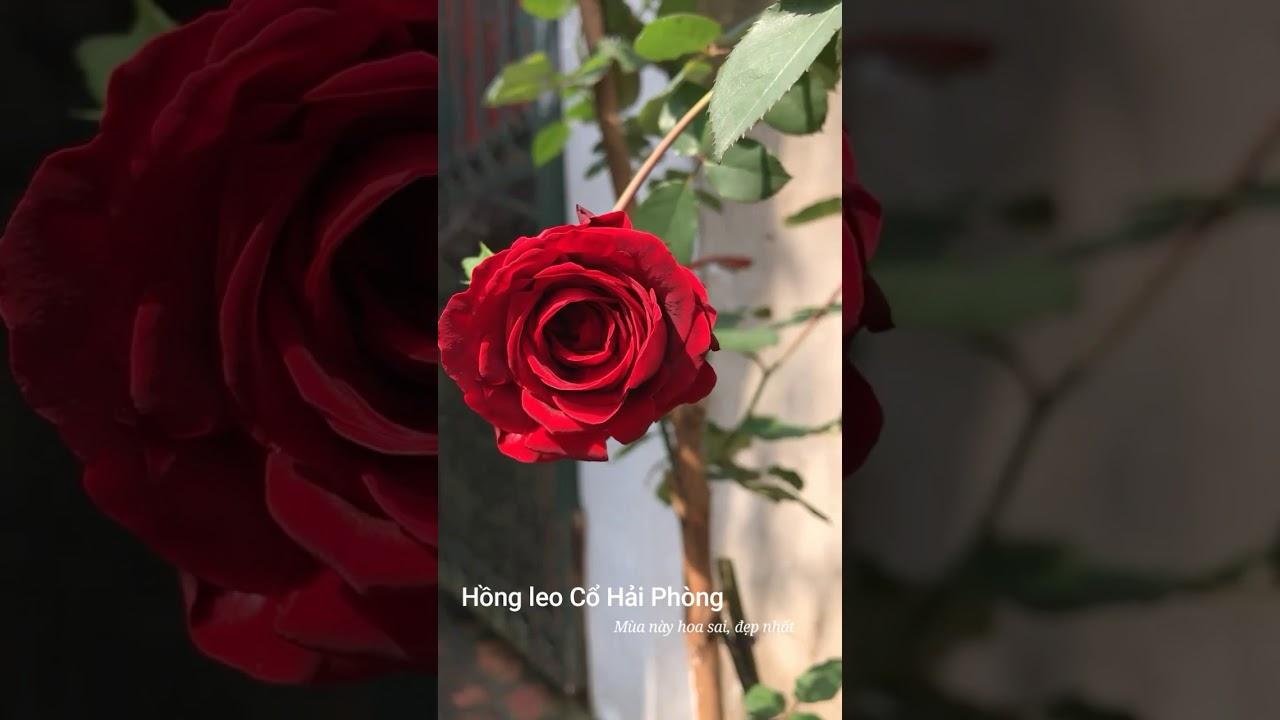 Hồng leo cổ hải phòng mùa nắng sai hoa, đẹp nhất