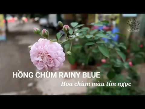 Hồng leo hoa chùm Rainy Blue   Hoa màu tím ngọc tuyệt đẹp