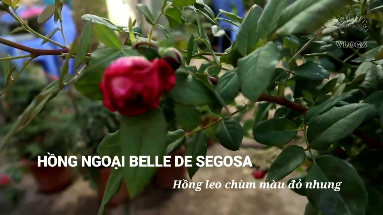 Hồng leo ngoại Belle de segosa   Loài hồng leo chùm tuyệt đẹp