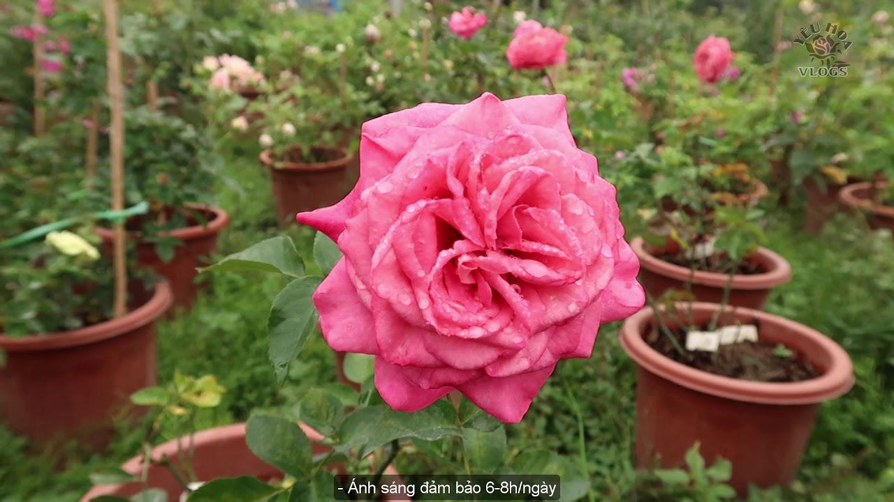 Hồng ngoại All 4 Kiss Rose | Đẹp duyên dáng